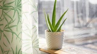 The Best Pot for Aloe Plants