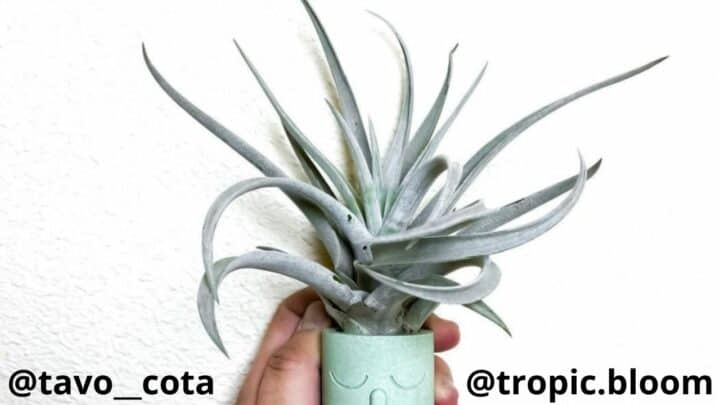 Tillandsia Harrisii Care Made Easy