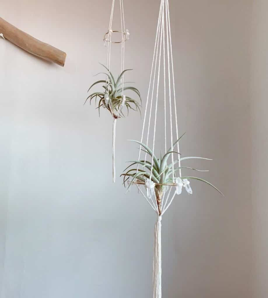 Tillandsia Harrisii Care Made Easy 1
