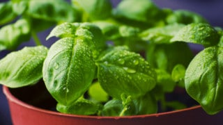 What Causes White Spots on Basil