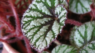 What Causes White Spots on Begonia Leaves
