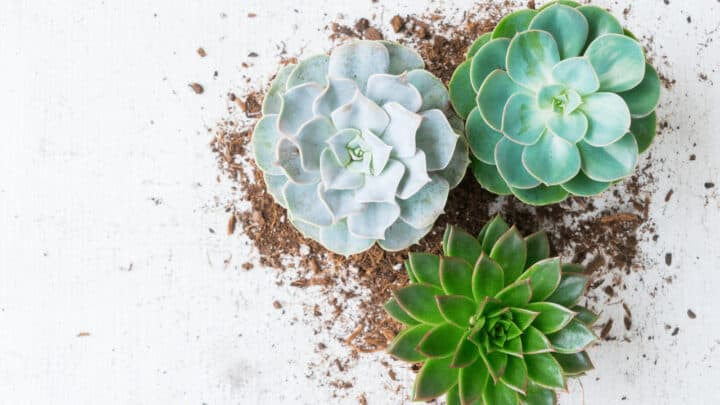 When to repot succulents