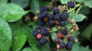 White Spots on My Blackberries