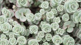 White Spots on Succulents