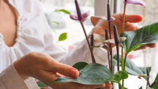 Why Anthurium Leaves Turn Brown