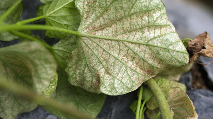 Why Do Spider Mites Keep Coming Back? Stop!