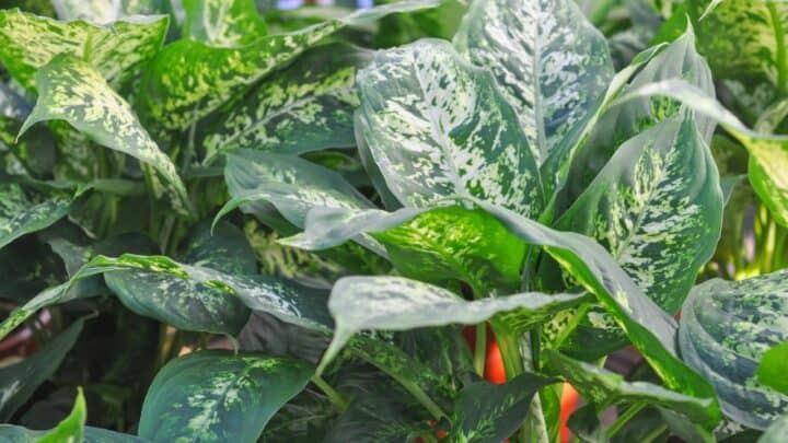 Curly Leaves on Dieffenbachia: 5 Likely Reasons and Fixes