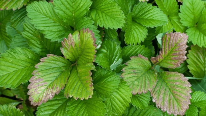 4 Reasons Why Strawberry Leaves Turn Brown