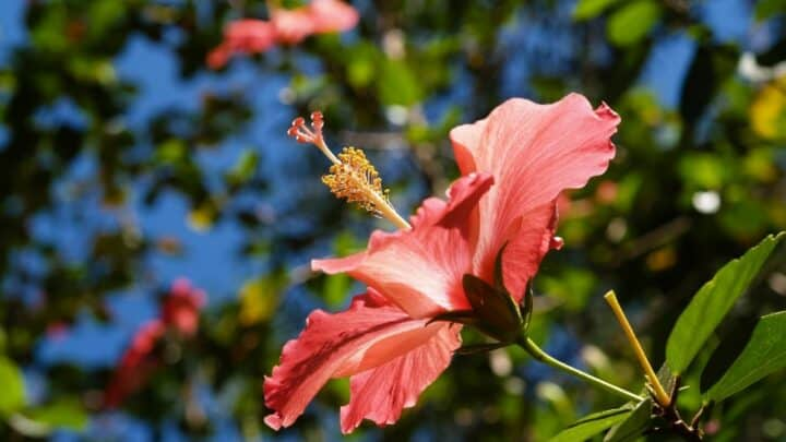 How to Overwinter Hibiscus – Winter Survival Techniques