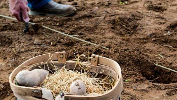 How Long Do Potatoes Take to Grow? What Do You Think?