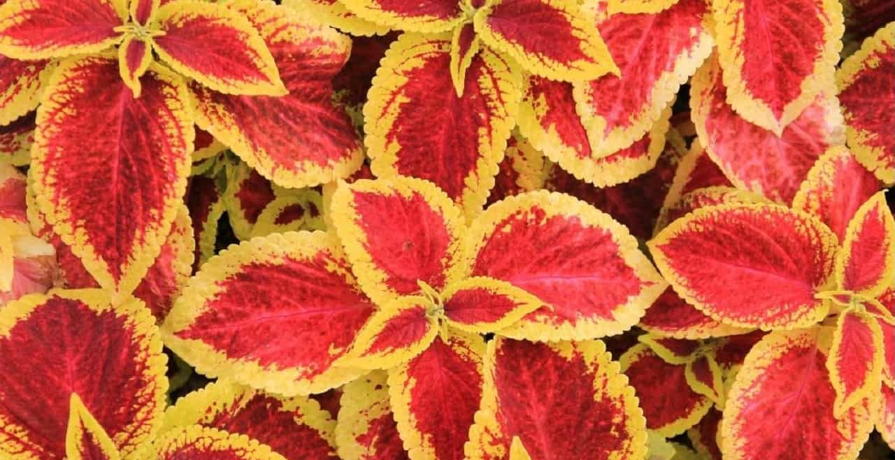 Top 10 House Plants With Red Leaves 4