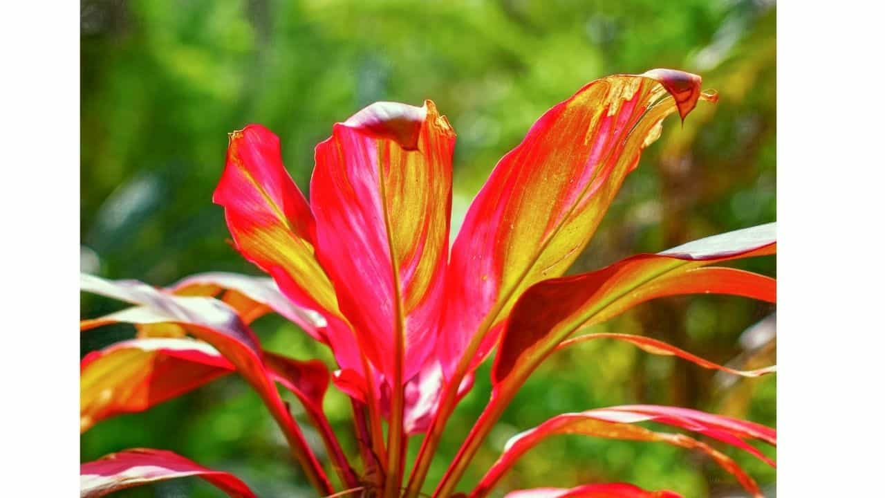 Top 10 House Plants With Red Leaves 5