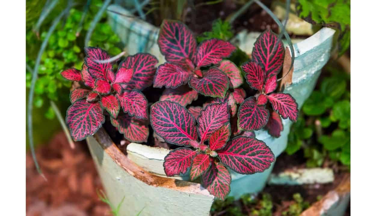 Top 10 House Plants With Red Leaves 6