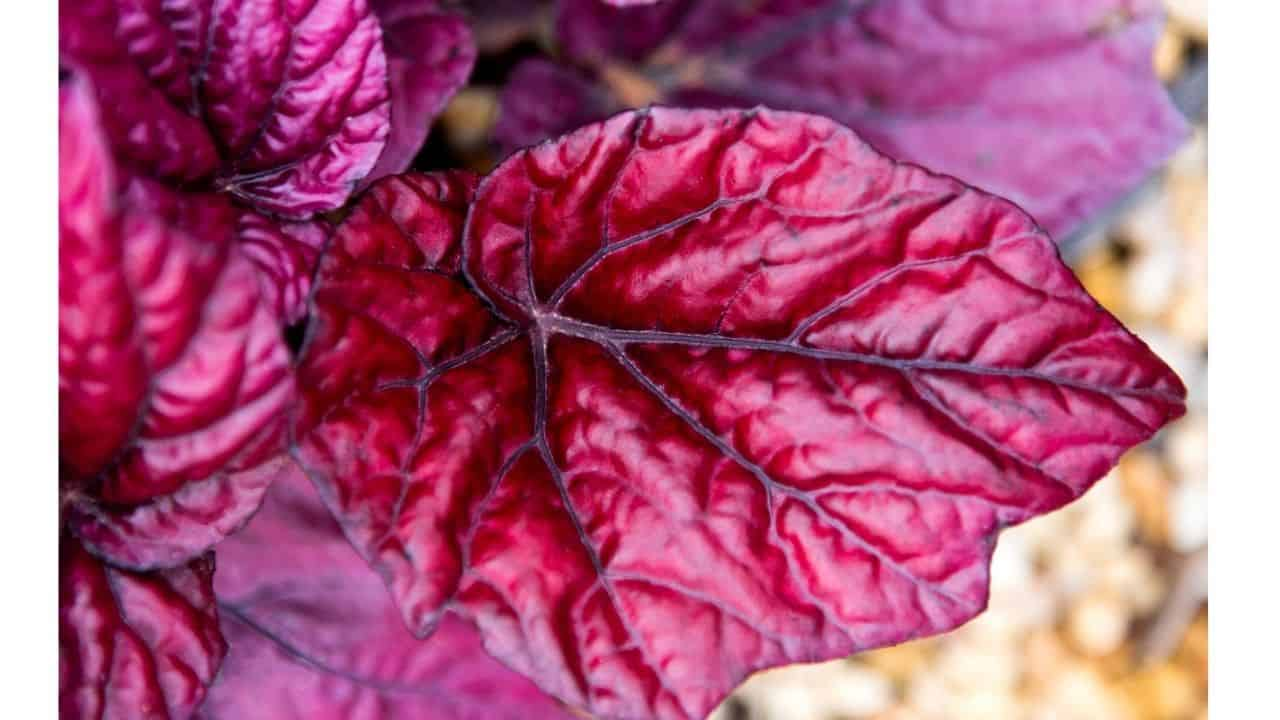 Top 10 House Plants With Red Leaves 9