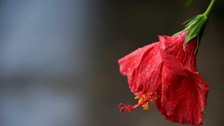 Why is my Hibiscus Wilting? That's Why!