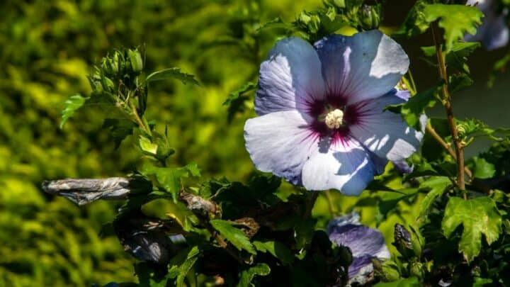 When to Plant a Hibiscus