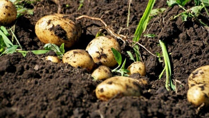 How to Harvest Potatoes? All Questions Answered