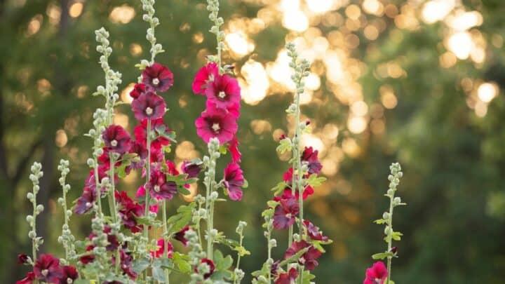 When do Hibiscus Bloom – Hmm?