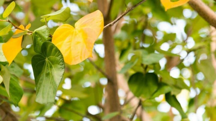 Why are my Hibiscus Leaves Turning Yellow? The Reasons