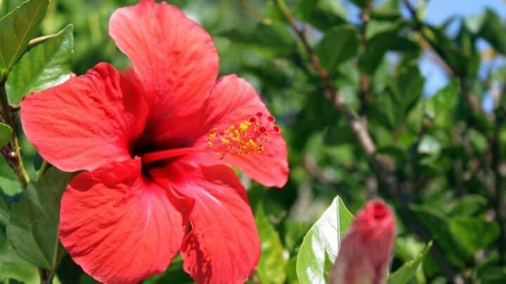 Where to Buy Hibiscus Plants –  3 Ideas!