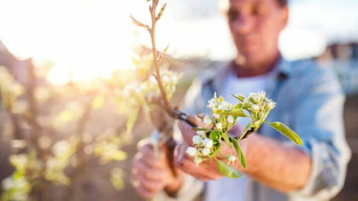 How to Prune an Apple Tree for an Abundance of Bigger Fruit