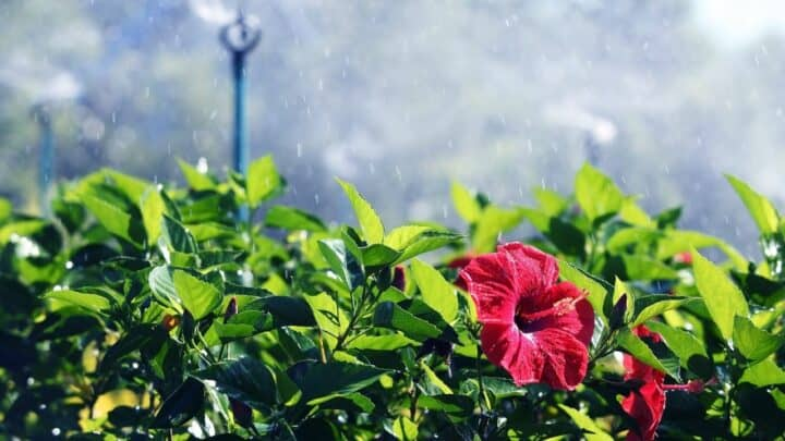 Watering Hibiscus – The Perfect Guide!