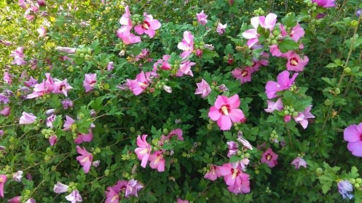 How to Prune Hibiscus – Get Massive Blooms!