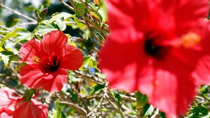 How to Plant Hibiscus – A Step By Step Guide