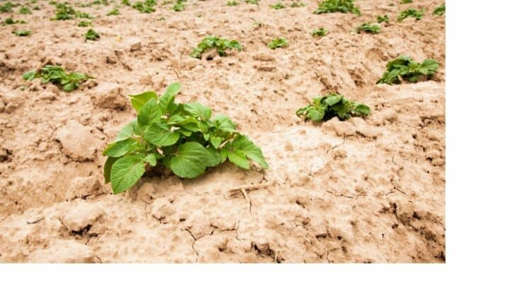 How Far Apart to Plant Potatoes  – No Guesswork