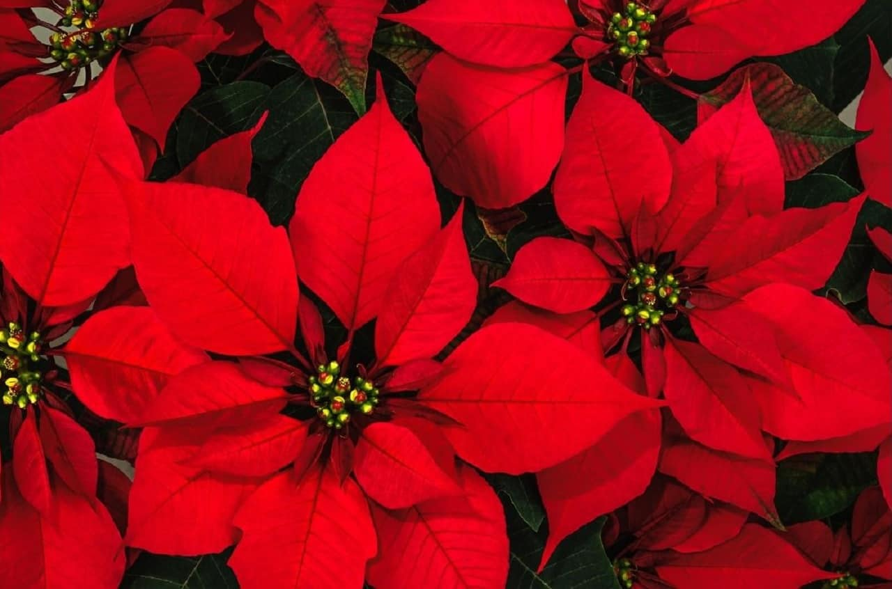 Top 10 House Plants With Red Leaves 1