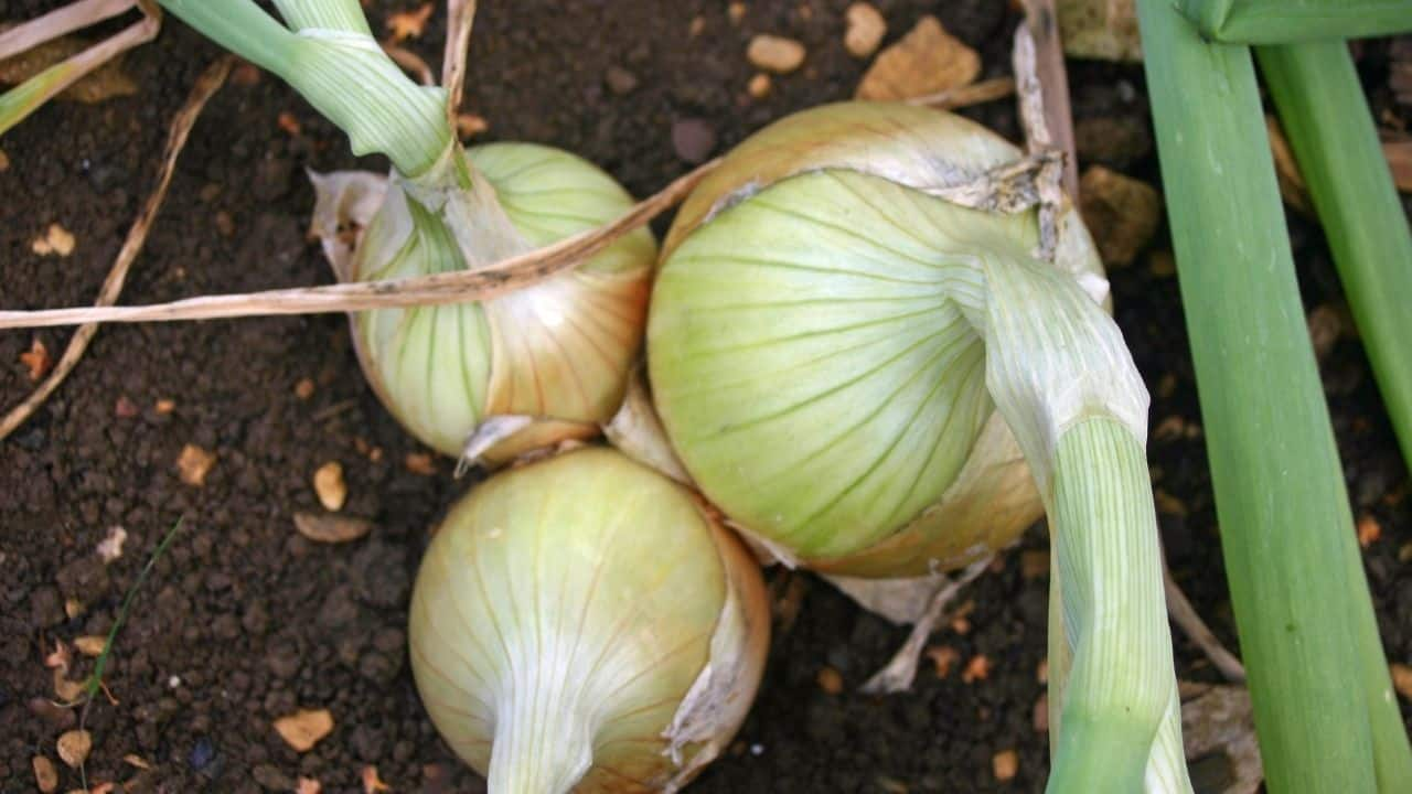 11 Popular Vegetables to Grow Yourself 6