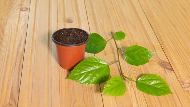How to Grow Hibiscus from Cutting – The Easy Way