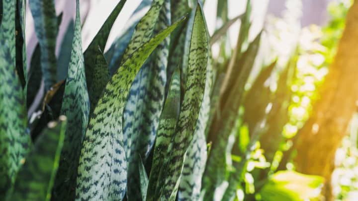 Sansevieria Black Coral Care – What You Need to Know!