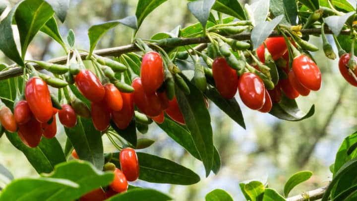 How Big Can a Goji Berry Bush Get – Let's See!