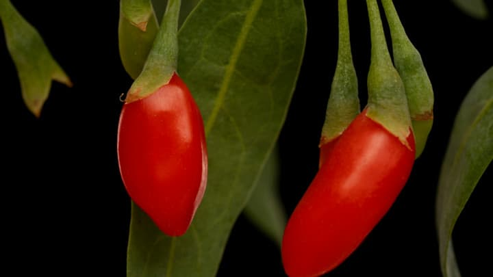 Goji Berry Planting Tips for More Fruits