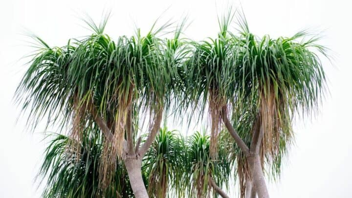 Ponytail Palm Diseases and the Pests that Cause Them