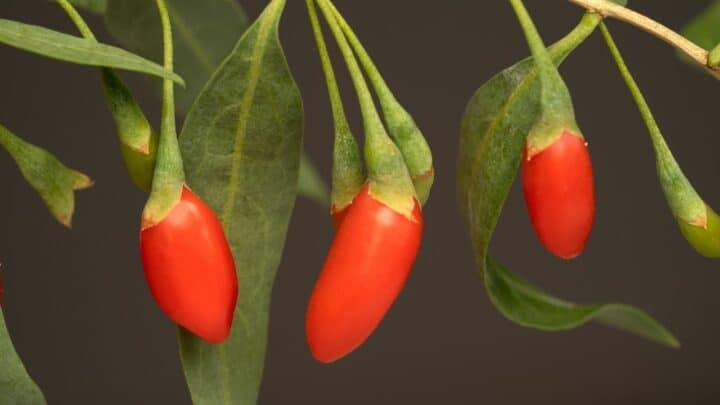 How to Prune a Goji Berry Plant? Maximum Yield Tactics