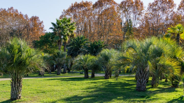 Pindo Palm Diseases And The Most Effective Ways To Cure Them