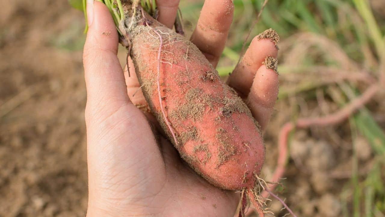 11 Vegetables Grown Underground 10