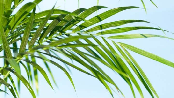How to Repot a Majesty Palm? Well, Here's How!