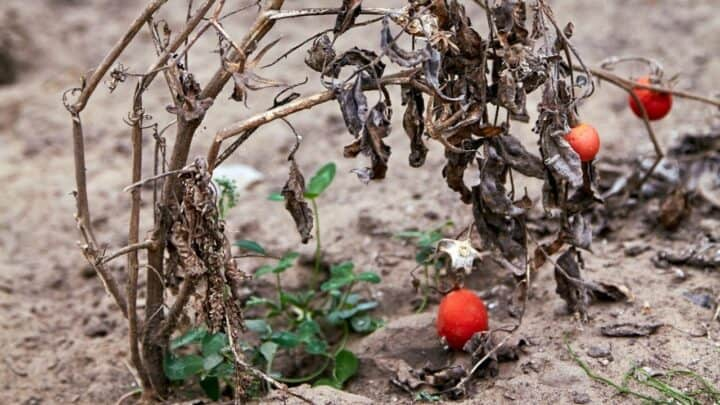 How To Revive A Dying Tomato Plant – Read This!