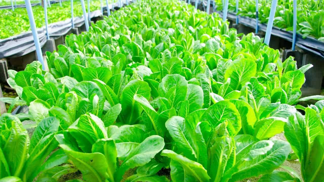 15 Best Vegetables for Hydroponics 2