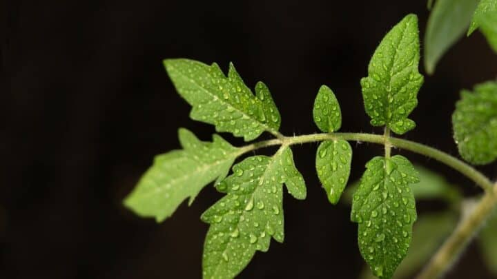 Black Spots On Tomato Leaves – What Are They?