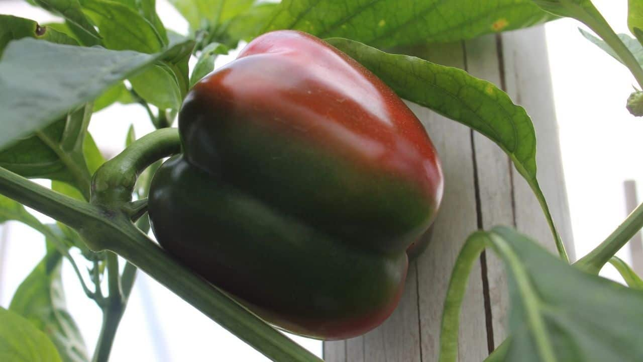 15 Best Vegetables for Hydroponics 4
