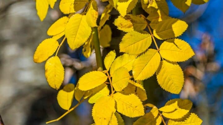 8 Reasons for Yellow Leaves on Roses