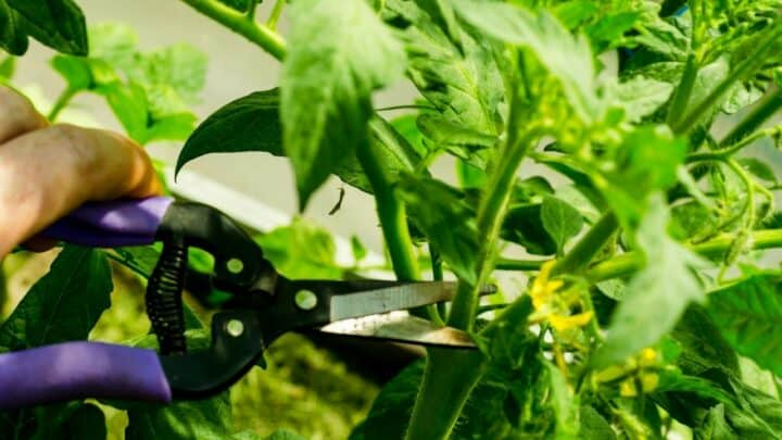 How To Prune Your Tomatoes For Maximum Yield