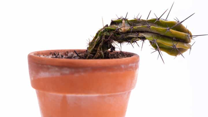Why My Cactus Is Dying? Find Out Now!