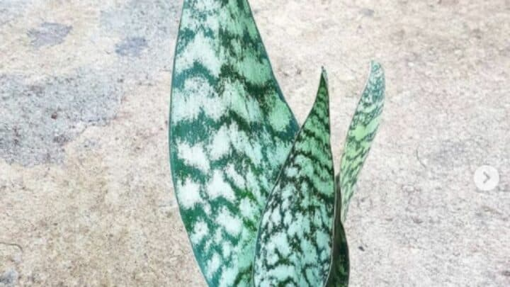 Sansevieria Robusta Care Guide – All You Want to Know!