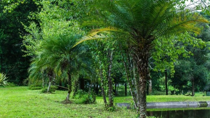 Pygmy Date Palm Care – What You Need to Know