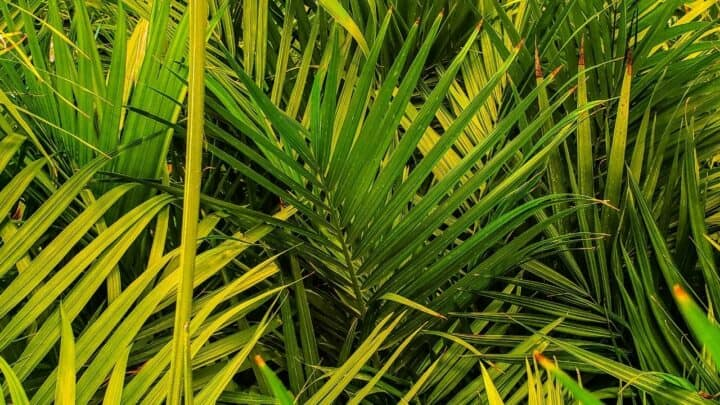 Why Is My Majesty Palm Turning Yellow – Why Indeed?